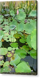 Lily Pad Acrylic Print by Jack Edson Adams