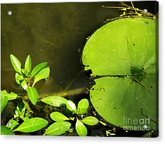 Lily Pad Acrylic Print by Robyn King
