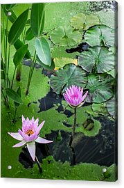 Lily Pads And Flowers Acrylic Print