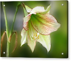 Lily Acrylic Print by Phil Penne