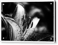 Lily Surprise Acrylic Print