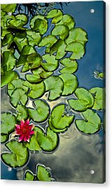 Pacman Lily  Acrylic Print by Thomas Camp