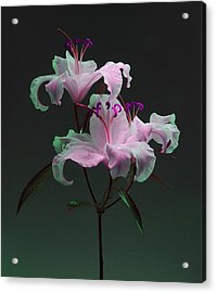 Lily Variation #04 Acrylic Print