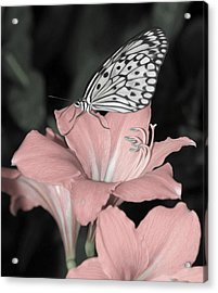 Lily With Butterly  Acrylic Print