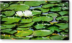 Lily Pads Acrylic Print by Alan Marlowe