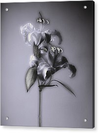 Lily_variation#5 Acrylic Print