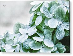 Acrylic Print featuring the photograph Limelight Hydrangea by Cathy Donohoue
