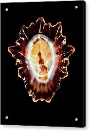 Limpet Shell Acrylic Print by Gilles Mermet