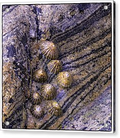 Limpets On Rocks Acrylic Print by George Hodlin