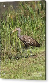 Limpkin With Apple Snail Acrylic Print by Christiane Schulze Art And Photography