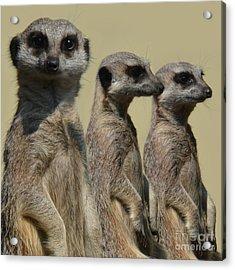 Line Dancing Meerkats Acrylic Print