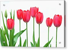 Acrylic Print featuring the photograph Line Of Tulips by Steve Augustin