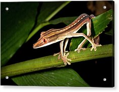 Lined Flat-tail Gecko Acrylic Print