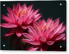 Lined Pink Water Lilies Acrylic Print