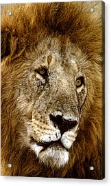 Lion 01 Acrylic Print by Wally Hampton