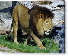 Lion 1 Acrylic Print