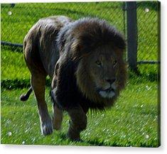 Lion 4 Acrylic Print
