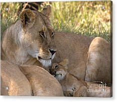 Acrylic Print featuring the photograph Lion And Cub by Chris Scroggins