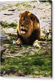 Lion At Rest Acrylic Print by B Wayne Mullins