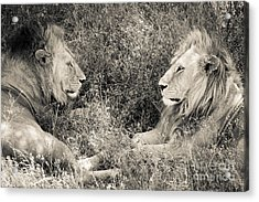Lion Brothers Acrylic Print by Chris Scroggins
