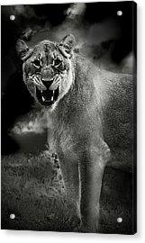 Lion Acrylic Print by Christine Sponchia