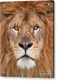 Acrylic Print featuring the photograph Lion Close Up by Jerry Fornarotto