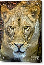 Lion Closeup Acrylic Print by David Millenheft