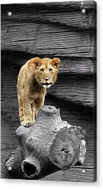 Acrylic Print featuring the photograph Lion Cub by Cathy Harper