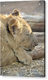 Lion Cub Dozing In The Sun Acrylic Print