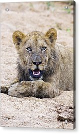 Lion Cub In Dry River Bed Acrylic Print by Sean McSweeney