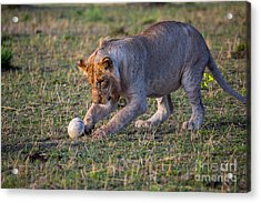 Lion Cub Playing With Ostrich Egg Acrylic Print