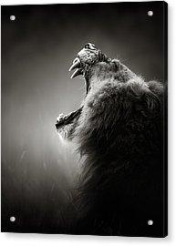 Lion Displaying Dangerous Teeth Acrylic Print by Johan Swanepoel