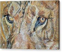 Lion Eyes Acrylic Print by Ann Marie Chaffin