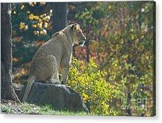 Lion In Autumn Acrylic Print