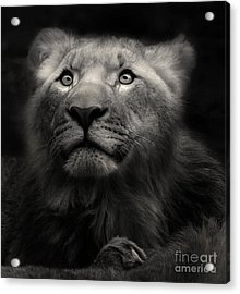 Lion In The Dark Acrylic Print
