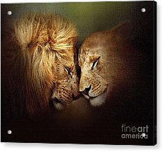 Lion Love Acrylic Print by Robert Foster