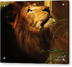 Acrylic Print featuring the photograph The Lion Of Judah by Olivia Hardwicke