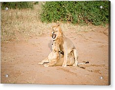 Lion Pair Panthera Leo Mating Acrylic Print by Panoramic Images