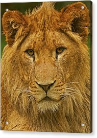Lion Acrylic Print by Paul Scoullar