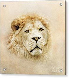 Lion Portrait Acrylic Print by Roy  McPeak