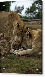 Lion Smooch Acrylic Print by Graham Palmer