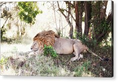 Lion Snoozing In The Afternoon Acrylic Print