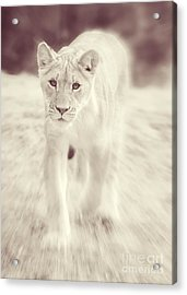 Lion Spirit Animal Acrylic Print by Chris Scroggins