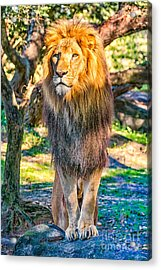 Lion Standing On Rocks Acrylic Print by Stephanie Hayes