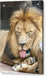 Lion Sticking Out Tongue Acrylic Print