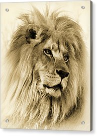 Lion Acrylic Print by Swank Photography