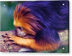 Lion Tamarin Acrylic Print
