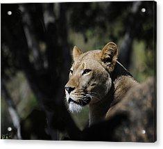Lion Watching Acrylic Print by Keith Lovejoy