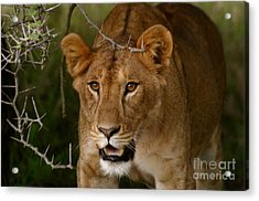 Lioness Acrylic Print by Alison Kennedy-Benson