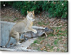 Acrylic Print featuring the photograph Lioness And Deer by Eva Kaufman